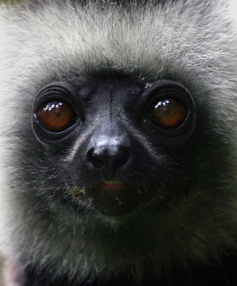 Thislemur was spotted hanging from aa tree in Madagascar's Mantadia National Park.Madagascar, the only place in the world with native wild lemurs, is hosting an Africa-wide conference on how to preserve and profit from wildlife.