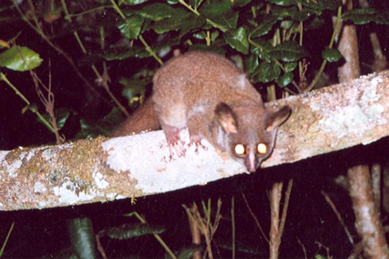 """A tripwire camera set up by researchers in Tanzania photographed this """"bush baby,"""" a small, nocturnal primate also known as a galago."""
