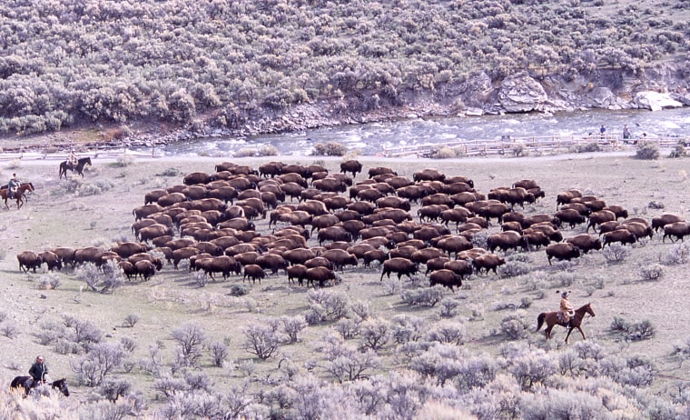 A herd of bison are pictured near Boiling River in Yellowstone National Park. Yellowstone has been a haven for wild bison, where a population that has existed since prehistoric times now thrives.