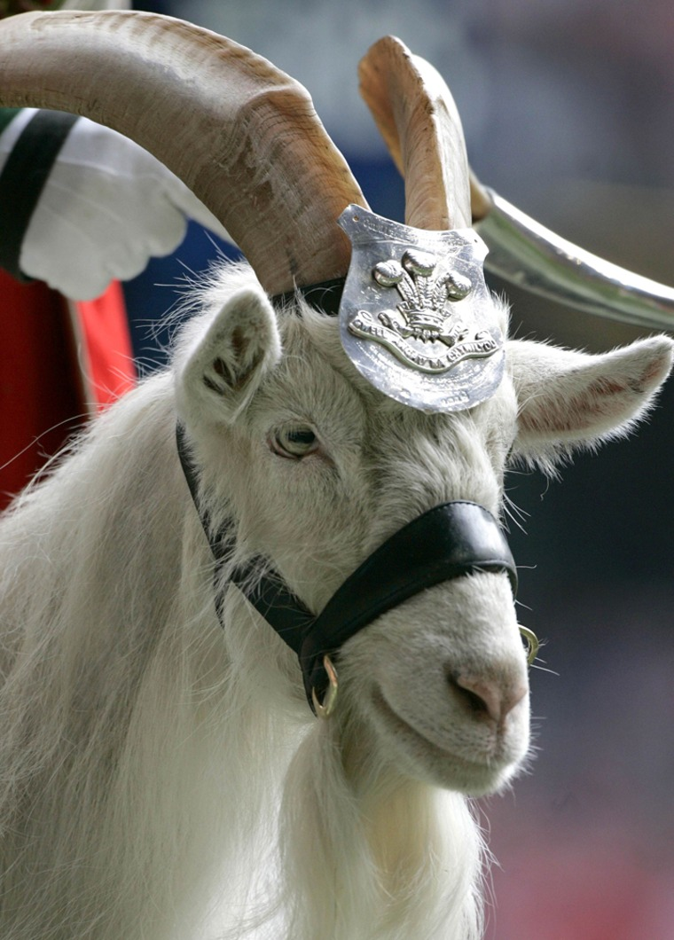 File photo of the regimental mascot of the First Battalion, the Royal Welsh regiment Biily Goat parading at the Millennium Stadium in Cardiff