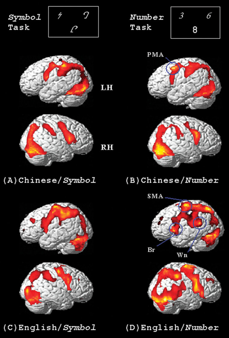 Functional magnetic resonanceimages show which areas of the brain are activated when native Chinese speakers (top row) and native English speakers (bottom row) take on tasks involving symbols (left column) and numbers (right column).
