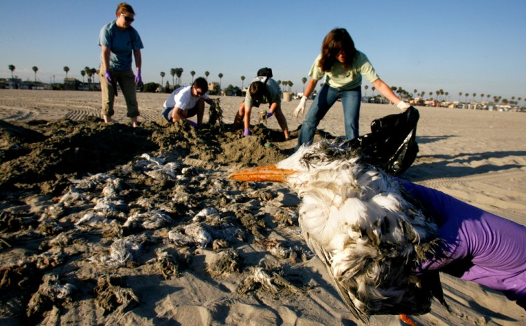 A dead adult bird lies next to dozens of dead chicks as members of the International Bird Rescue ResearchCenter gather them up after they washed ashore Wednesdayin Long Beach, Calif.