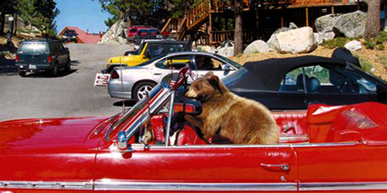 Abear cub occupies a vintage red Buick convertible in a Lake Tahoe neighborhood in Stateline, Nev., on Sunday.