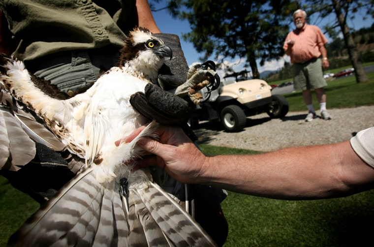 An osprey rescued by the Raptor Chapter was fitted with a transmitter to help located its nesting location after release Monday, July 3, 2006, in Coeur d'Alene, Idaho.