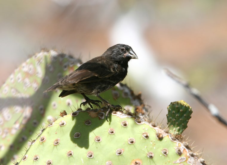 A medium ground finch (Geospiza fortis) perches on Daphne Major island in the Galapagos. The little finches on the Galapagos Islands that inspired Charles Darwin to develop the concept of evolution are now helping confirm it — by evolving.