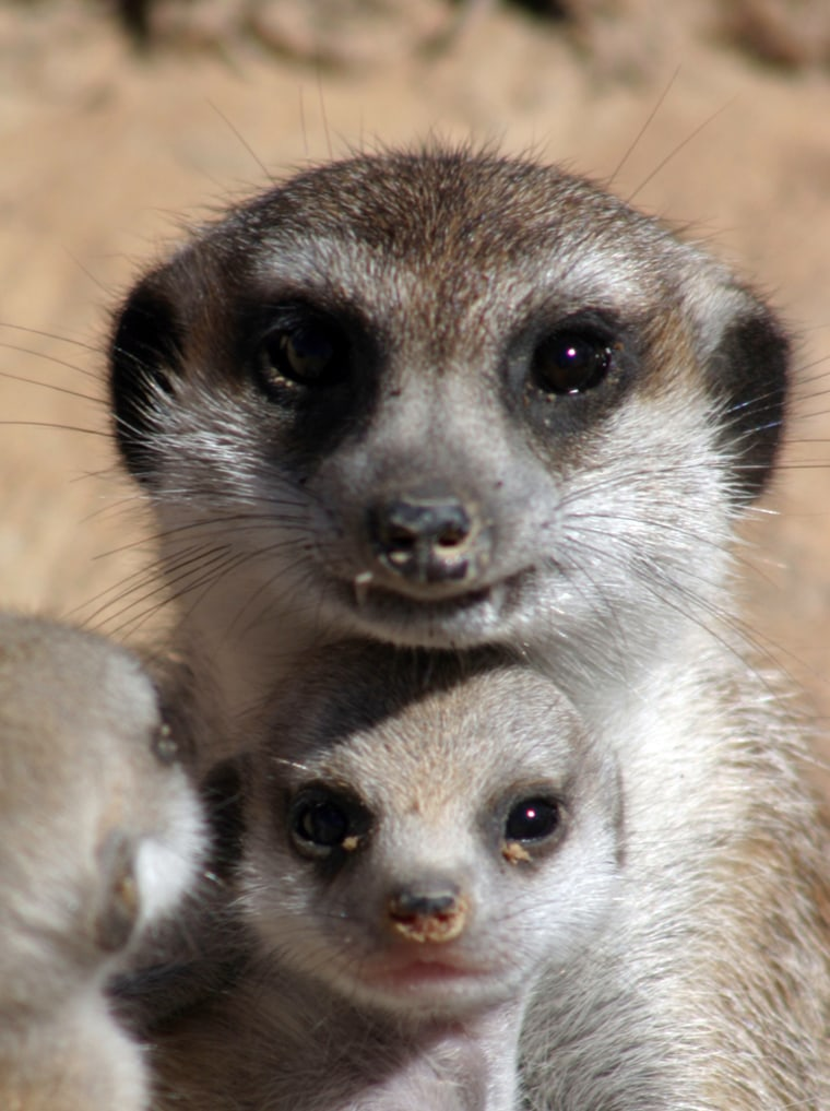 A helper meerkat guides 30-day-old pups.