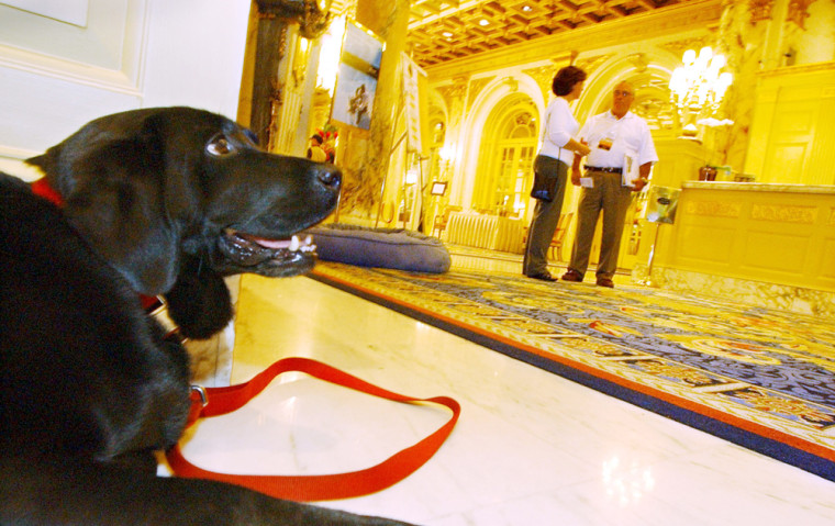 Black lab Catie Copley, canine ambassador at The Fairmont Copley Plaza hotel, takes a break after a walk, July 1, 2006 in Boston.