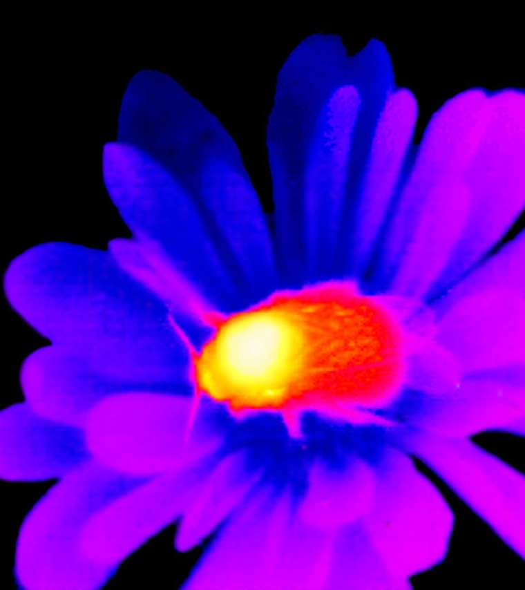 An infrared photo shows a bumblebee sitting on a flower. Reds and yellows denote warmer temperatures, while purples and blues stand for cooler areas.