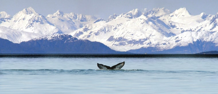 Humpback whales in Alaska, like this onenear Pleasant Island in Icy Strait, have historically kept to waters off the southern half of the state. But they were seen last summer in the northern Beaufort Sea.