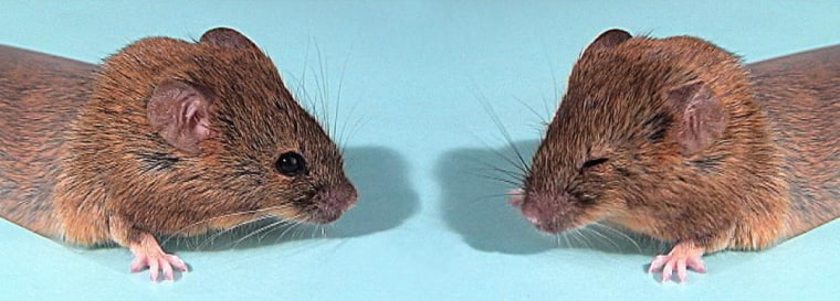 The mouse at left has had its Hoxb1 gene disabled, which leads to facial paralysis and the inability to respond to a puff of air. The mouse at right contains a hybrid gene with critical portions of Hoxa1 and Hoxb1, and is able to blink its eyes in response to a puff. The hybridgene is similar to an ancient gene known as Hox1.