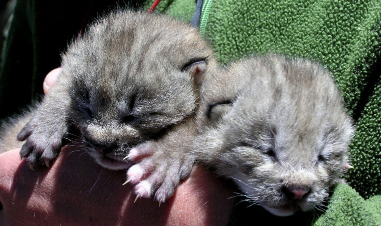 Male lynx kittens from the southern mountains near Durango, Colo., are seen in this photograph taken on June 17. Because the eyes of the kittens were not open when this photograph was taken, researchers estimate that the kittens were no more than a week old at the time.