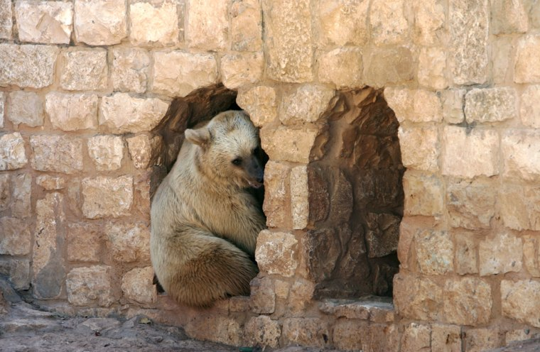 A female bear rests at the entrance to the bomb shelter in the zoo in the city of Haifa, northern Israel, after many of the animals were released out of the shelters in which they spent 34 days.