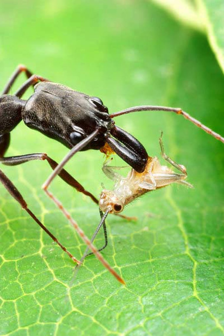 The mandibles of the trap-jaw ant close at speeds up to 145 mph, the fastest predatory strike in the animal kingdom.