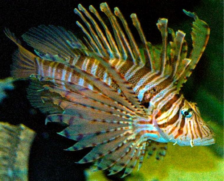 A venomous pterois lionfish.
