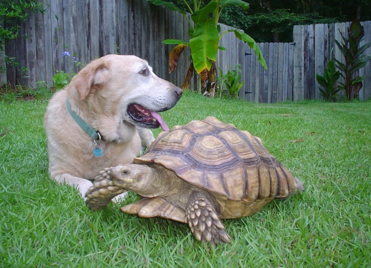 Willy, a tortoise, belonging to Kellie Copeland-Burnup of Ridgeville, N.C., walks past the family dog Sunday. After a month on the lam, the 40-pound tortoise with a 2-foot-wide, gold-colored shell is back in the wading pool at his owner's home.
