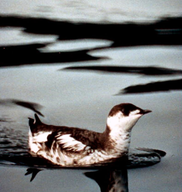 Marbled murrelets' numbers have declined in the Pacific Northwest but they're still common in Canada and Alaska.