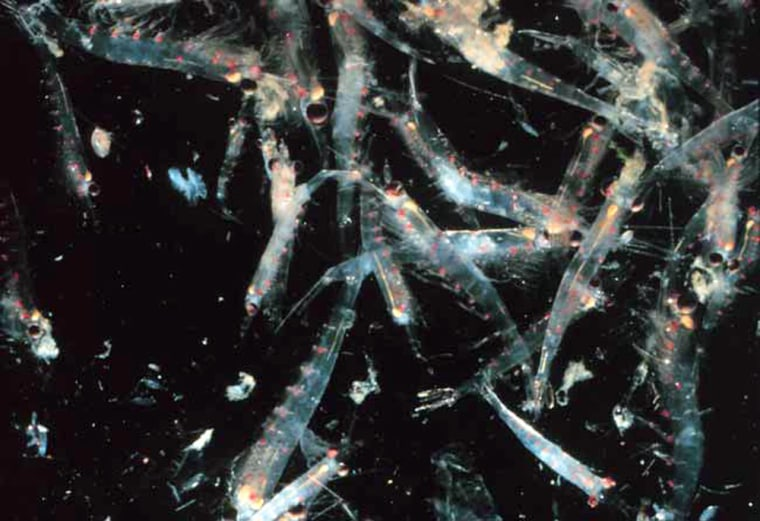 Krill are tiny crustaceans and an important food source for marine life such as whales, seals, salmon and seabirds.