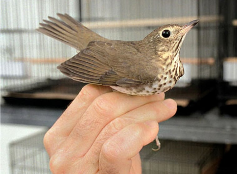 Swainson's thrushes travel up to 3,000 miles every autumn to winter in South America. The birds fly at night and for hours at a time without sleep. Credit: Thomas Fuchs