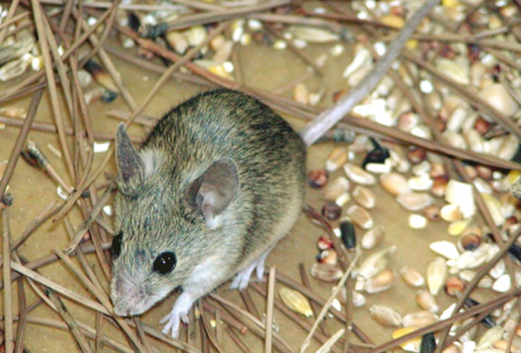 Mus cypriacus, Cypriot mouse