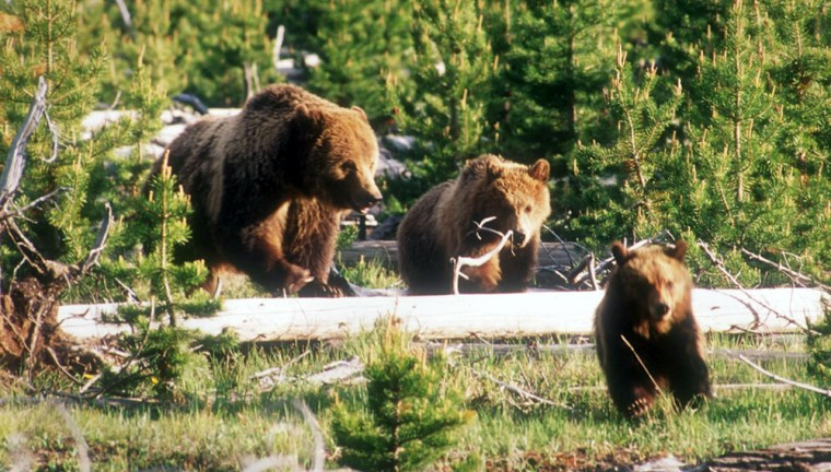 A grizzly sow and two cubs cross a meadow in Montana.