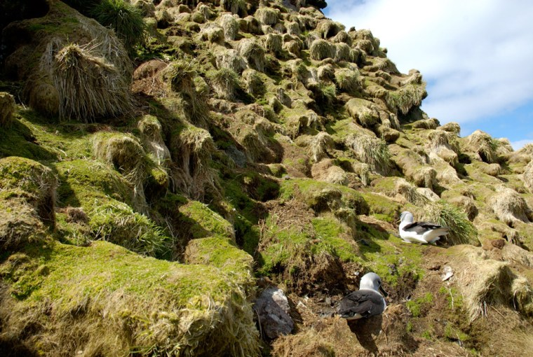 Albatross try to nest on tussock grasses destroyed by rabbits on Australia'sMacquarie Island.