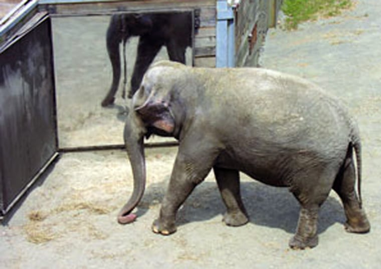 A 34-year-old female Asian elephant named Happy showed researchers that pachyderms can recognize themselves in a mirror — a highly complex behavior previously known in only a few other species.