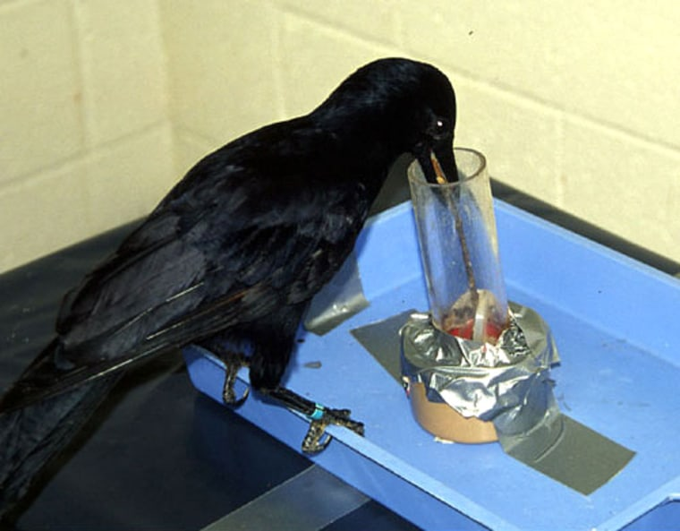 A crow named Betty, from a previous experiment, trying to retrieve the bucket from the well, using a stick with a hook on the end of it.
