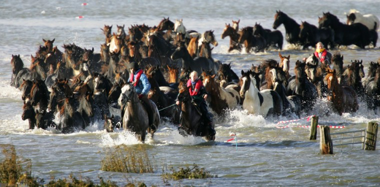 Guides lead around 100 horses through flooded fields near Marrum, Netherlands, on Friday, three days after the herd was stranded on a small knoll.