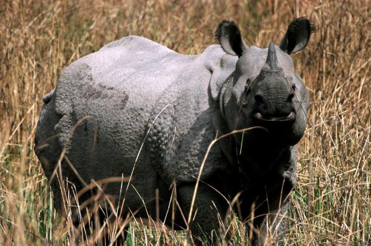 NEPAL: THE GREATER ONE HORNED RHINOCEROS