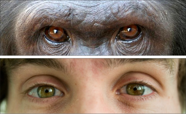 Scientists speculate that human eyes stand out more than chimpanzee eyes because there's an advantage for humans in being able to see the subtle cues communicated by eye movement.