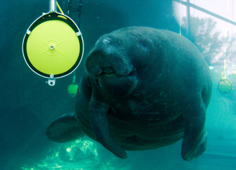 A manatee swims toward an underwater speaker after hearing a buzzer during a morning testing session at the Mote Marine Laboratory in Sarasota, Fla.