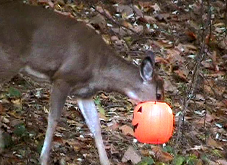 A young deer struggles to free itself from a plastic jack-o'-lantern on Nov. 6 in Cascade Township, Mich. The animal finally freed itself on Saturday, officials said.