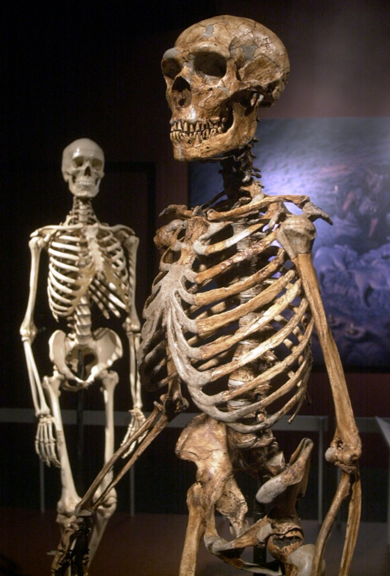A reconstructed Neanderthal skeleton, right, and a modern version of a Homo sapiens skeleton are on display at the Museaum of Natural History.