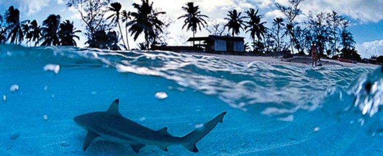 Blacktip reef sharks patrol the shallows of Aldabra's lagoon.