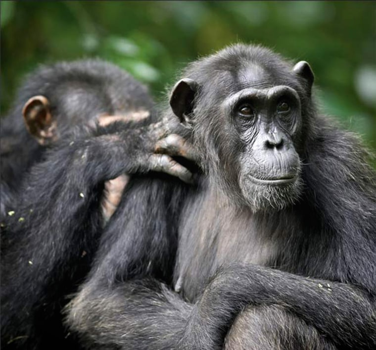 Imoso, the highest-ranking male in the Kanyawara community of Kibale National Park, Uganda, grooms Outamba, a middle-aged female. Male chimpanzees at Kanyawara consistently prefer the oldest females in their community as mating partners, suggesting that the preference that human men exhibit for youthful women is a recent evolutionary phenomenon.