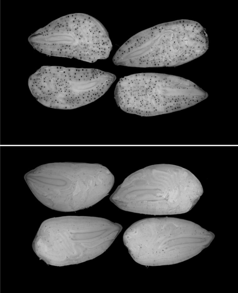 Normal cottonseeds are seen in the upperhalf of this image. Genetically engineered, toxin-free cottonseeds are shown in the lower half.