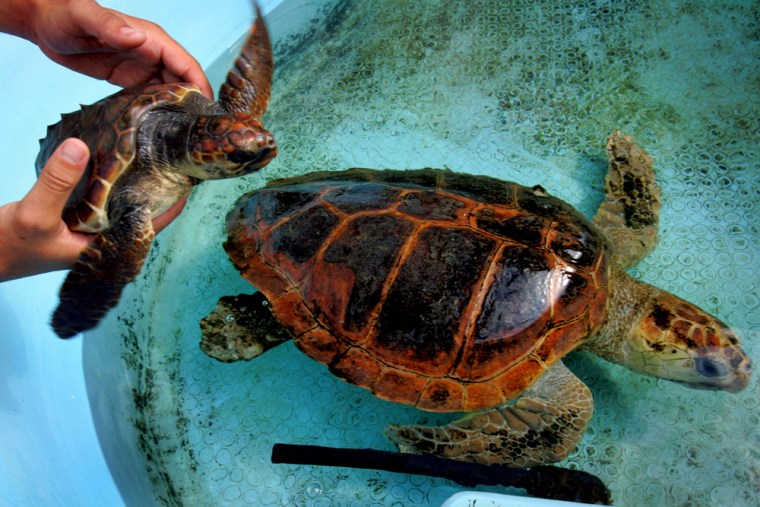 Israeli Ecologists Struggle To Protect Mediterranean´s Turtles