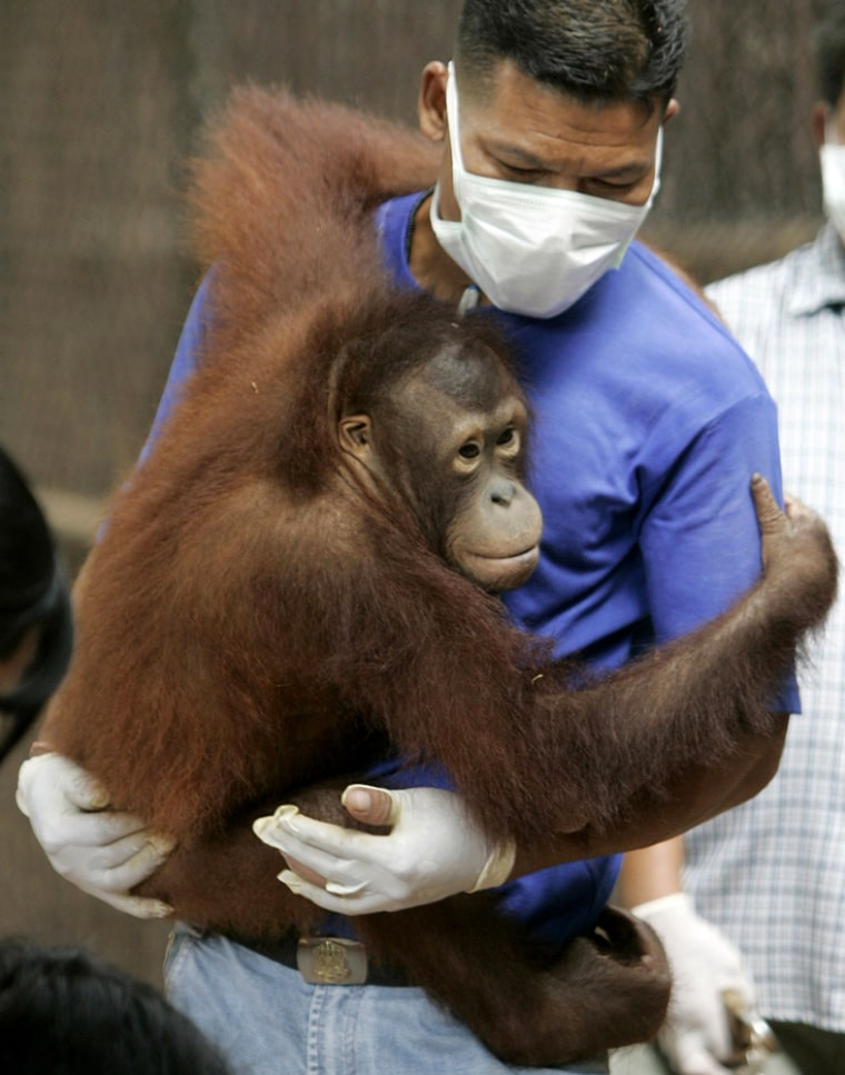 A Thai wildlife official carries an orangutan before it is repatriated to Indonesia, at a wildlife protection centre in Ratchaburi