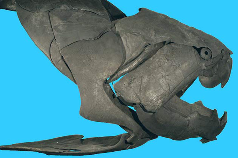 A photograph of the Dunkleosteus terrelli fossil skull. This ancient fish had a bite that exerted 11,000 pounds of force, the strongest bite of any fish ever, and one of the strongest bites of any animal.