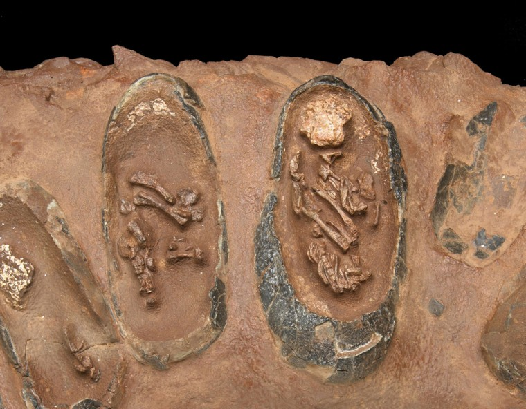 The skeletons of unborn dinosaurs can be seen inside their shells in a fossilized nest that is scheduled for auction on Sunday.