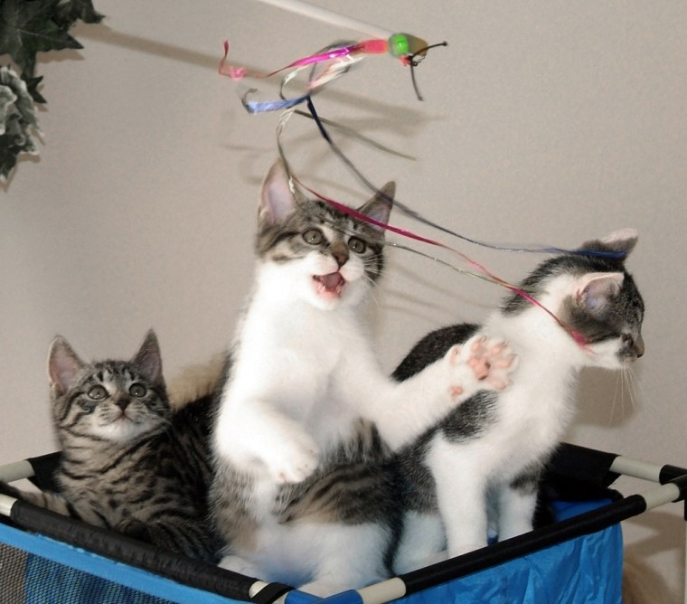 These three little kittens were born in Septemberto the world's first cloned cat. Two of the kittens take after their mother, while the third, left, has a gray coat like his father.