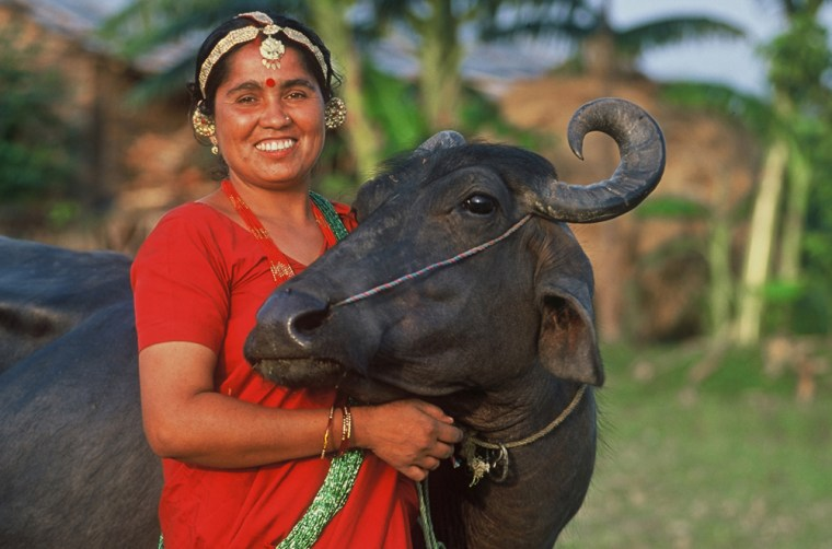 In this undated handout photo released by Heifer International, a woman poses with a water buffalo in Nepal.