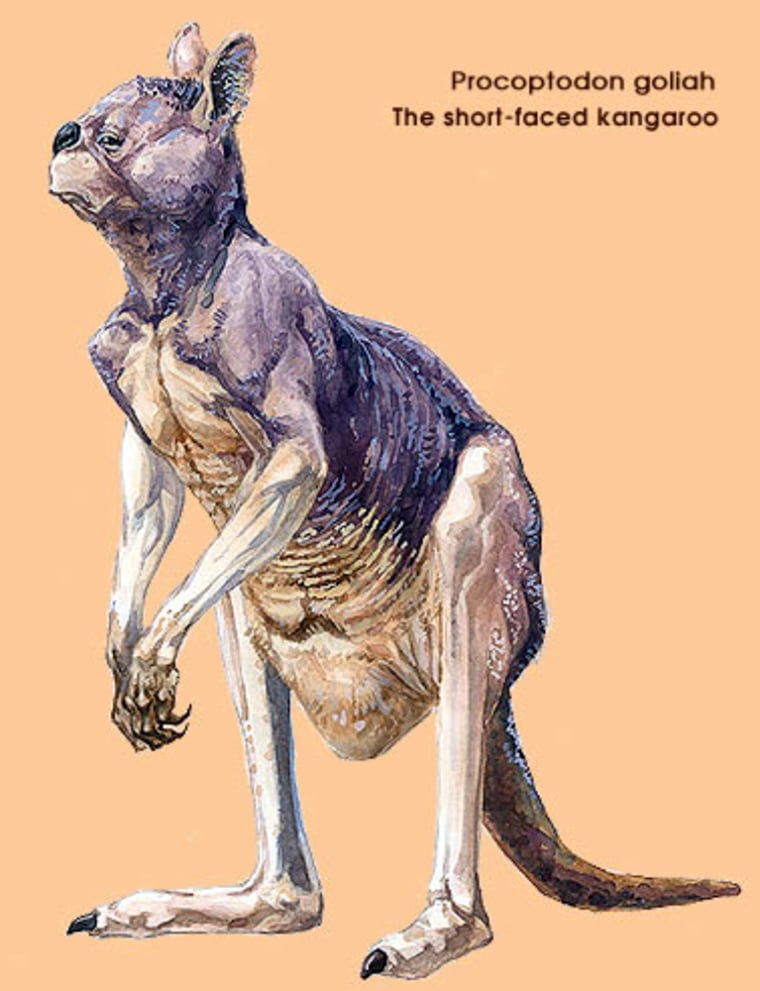 University of Melbourne and La Trobe University handout artist's impression shows a giant Kangaroo, or Procotoptodon goliah