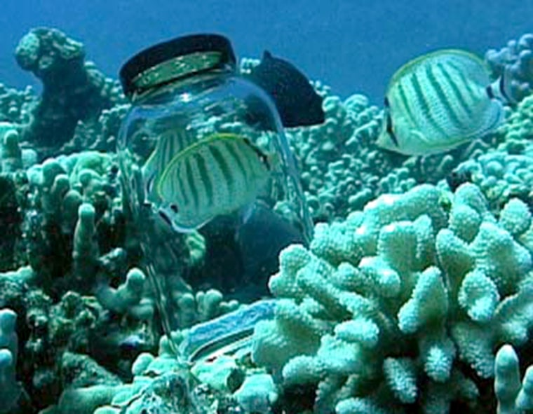 Male butterflyfish inspects and postures at a bottled fish pair that was introduced into its feeding territory. Wild fish produce sounds to intruders, and also their mates.