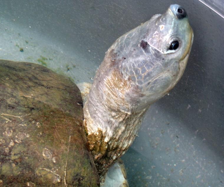 river terrapin turtle