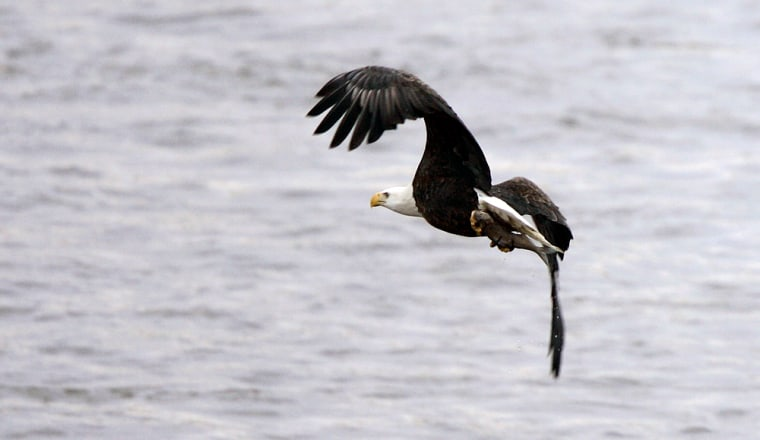 A bald eagle flies over the Des Moines river after catching a fish, in Des Moines, Iowa. State wildlife officials say many bald eagles remain near inland waterways because of the mild weather.