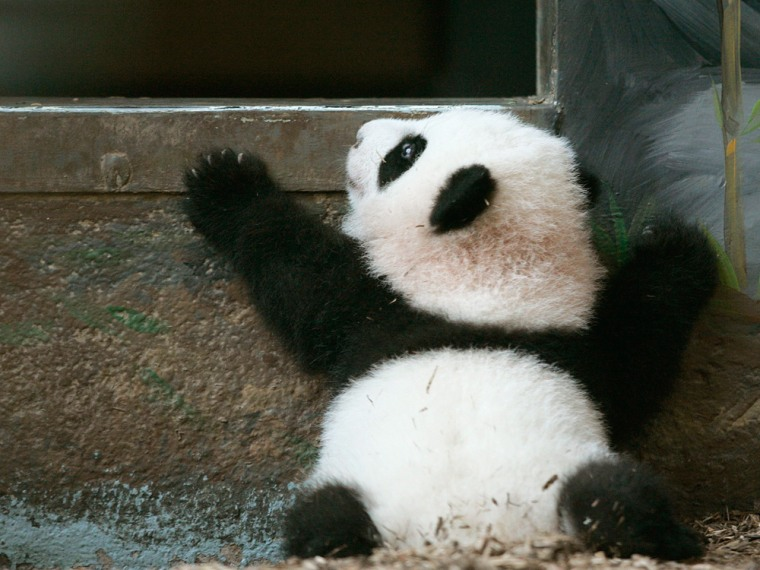 Giant Panda cub Mei Lan reaches to climb back in her inside habitat as she makes her formal debut at Zoo Atlanta in Atlanta.