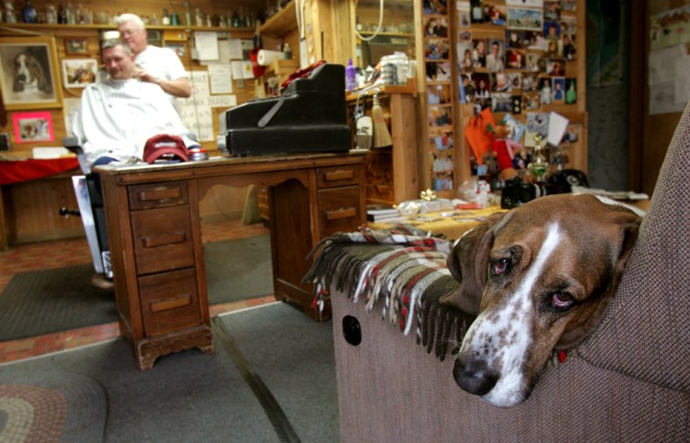 Franklin, a four-year-old basset hound, relaxes in his usual spot as Matt Schwendiman gives a haircut to Billy Boles at Matt's Barber Shop in Canal Fulton, Ohio, recently. Franklin was exiled from the shop 10 months ago when an inspector for the Ohio State Barber Board said that animals are not allowed. Franklin is back on his favorite sofa after the board last year crafted rules that allow one animal if certain precautions are met.