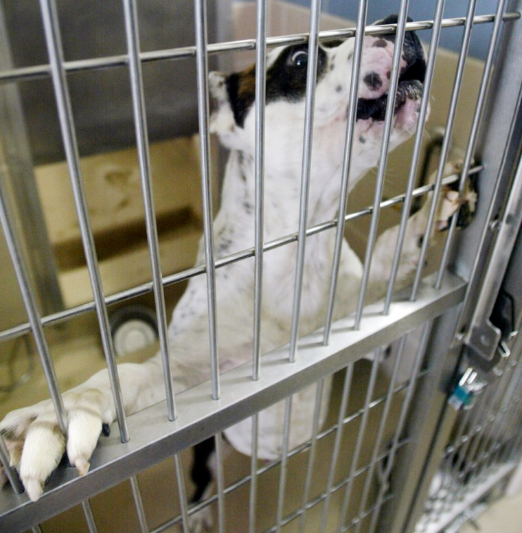 Apit bullis among 72 beingheld at the Montgomery County Animal Resource Center in Dayton, Ohio.