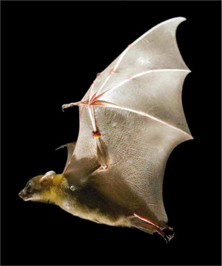 Flexible, highly articulated wings give bats more options for flight than birds: more lift, less drag, greater maneuverability.